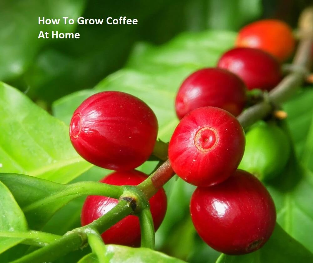 growing-coffee-plant-at-home
